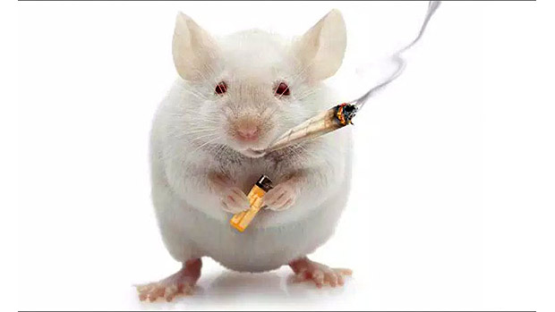 Mouse Weed