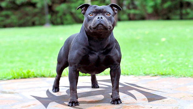 Muscle Dog